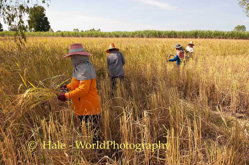 Lao Loum Farmers Harvest Rice In Thailand