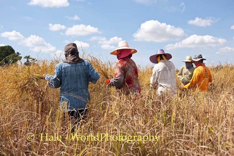 Lao Loum Farmers Harvest Rice In Isaan