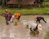 Busy Lao Loum Farmers In Isaan