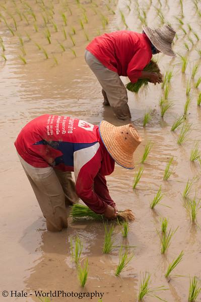 Women Planting Rice Knee Deep In Mud
