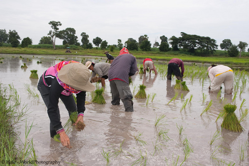 Transplanting Rice In A Prepared Field