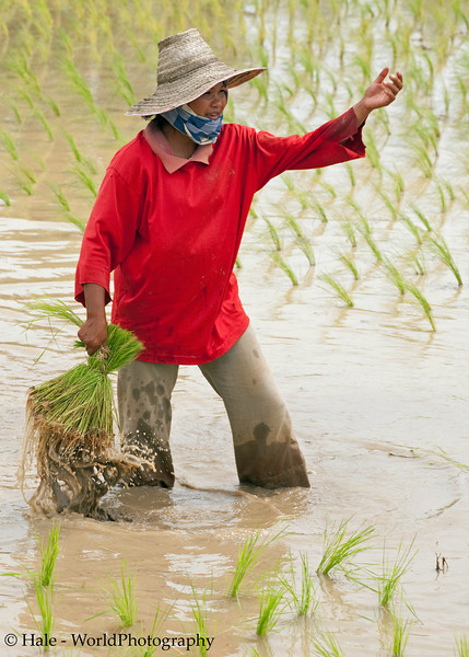 Lao Loum Female Farmer Transporting Rice Sheaf Through A Flooded Field.