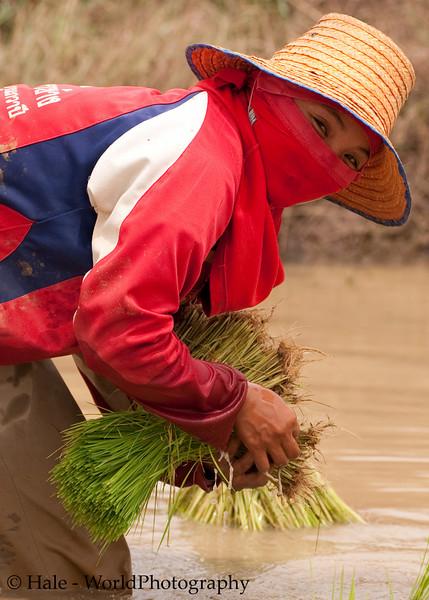 Female Lao Loum Farmer Transplanting Rice Outside of Tahsang Village