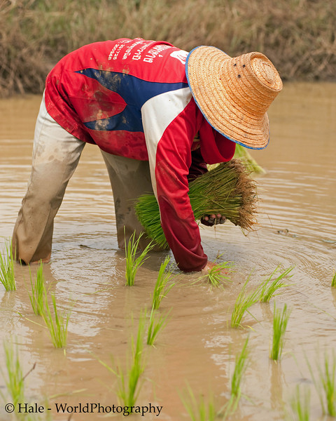 Setting Rice In A Flooded Paddy Outside of Tahsang Village