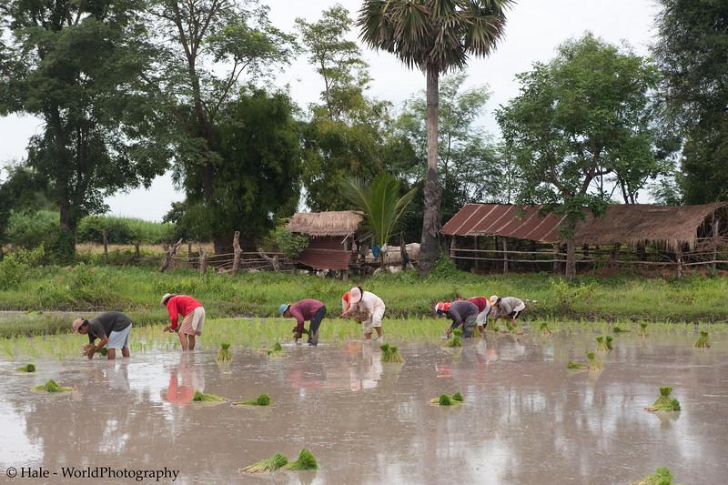 Transplanting Rice In A Prepared Field
