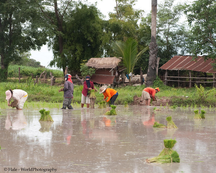 Lao Loum Family Planting Rice Outside of Tahsang Village