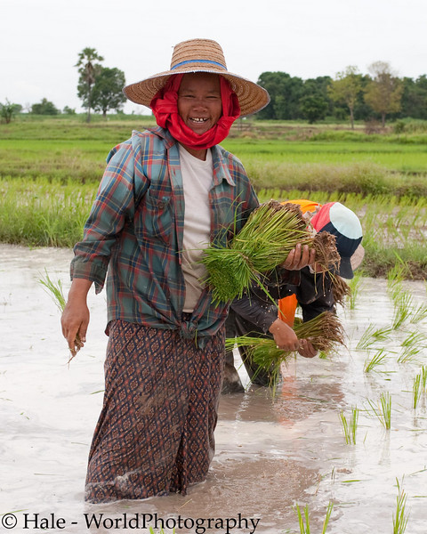 Lao Loum Farmer Carrying Her Rice Sheaf For Planting