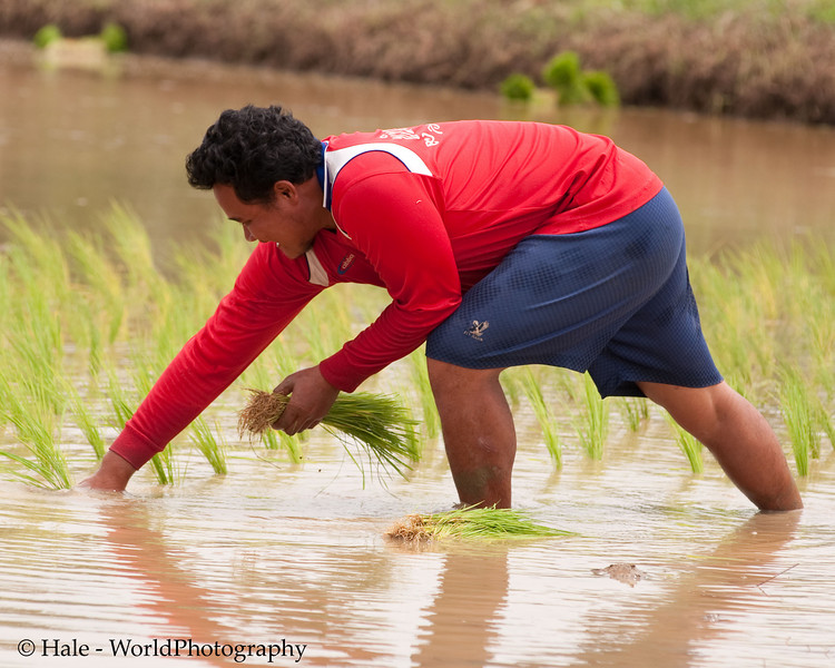 Lao Loum Villager Setting Rice Plants In Flooded Paddy