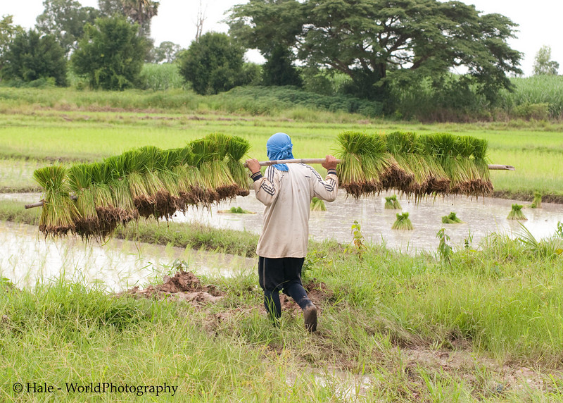 Carrying Rice Sheaves Out To the Prepared Paddy