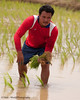 Weary Rice Farmer In Isaan Region of Thailand Setting Out Rice Plants