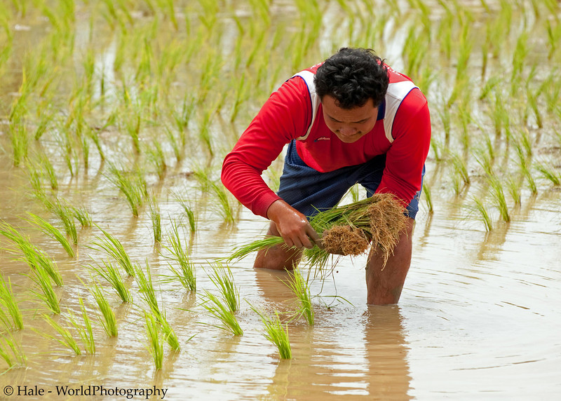 Setting Out More Rice Seedlings In Isaan Region of Thailand