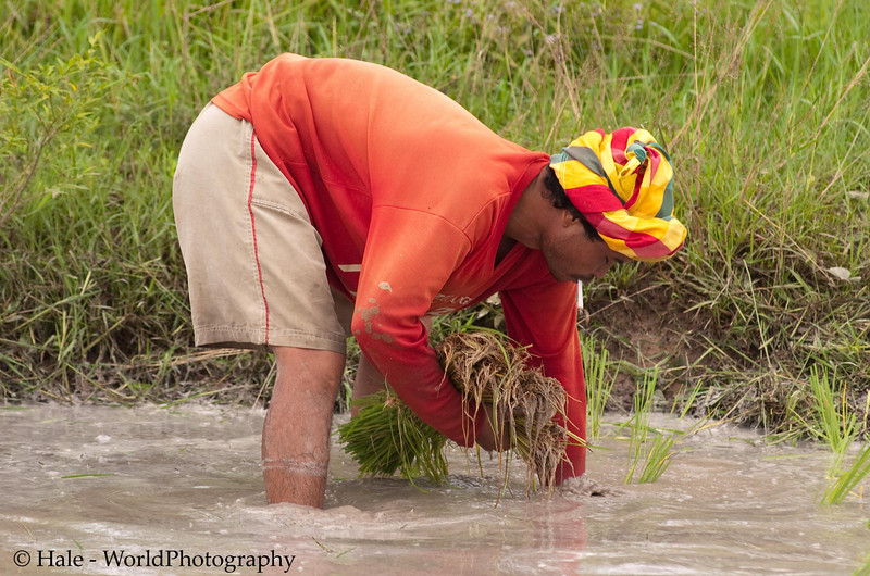 Lao Loum Farmer Wearing Pakama As He Plants Rice