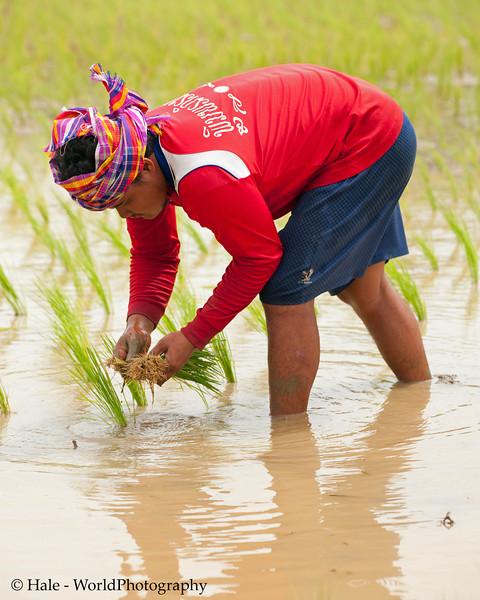 Farmer Wearing A Pakama As He Plants Rice