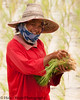 Smiling Lao Loum Female Farmer With Rice Seedlings To Be Transplanted