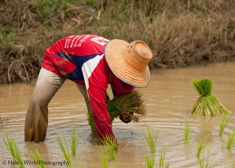 At Work In the Fields of Isaan