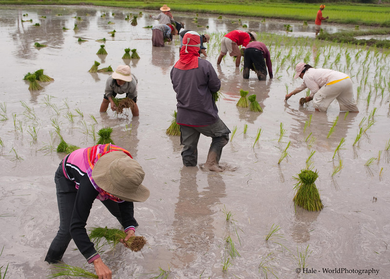 Busy Lao Loum Farmers In Isaan On An Overcast Morning