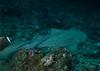 Leopard shark, Koh Tachai