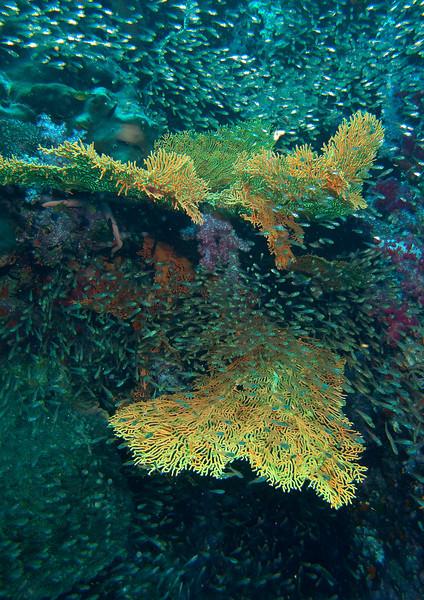 Diving at Richelieu Rock, Thailand