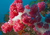 Soft Corals, Richelieu Rock