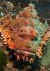 Scorpionfish, Koh Bon