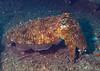 Cuttlefish, Boonsoong Wreck, Khao Lak