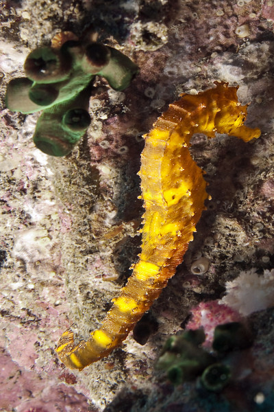 Seahorse, Richelieu Rock