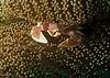Anemone Porcelain Crab, Boonsoong Wreck, Khao Lak