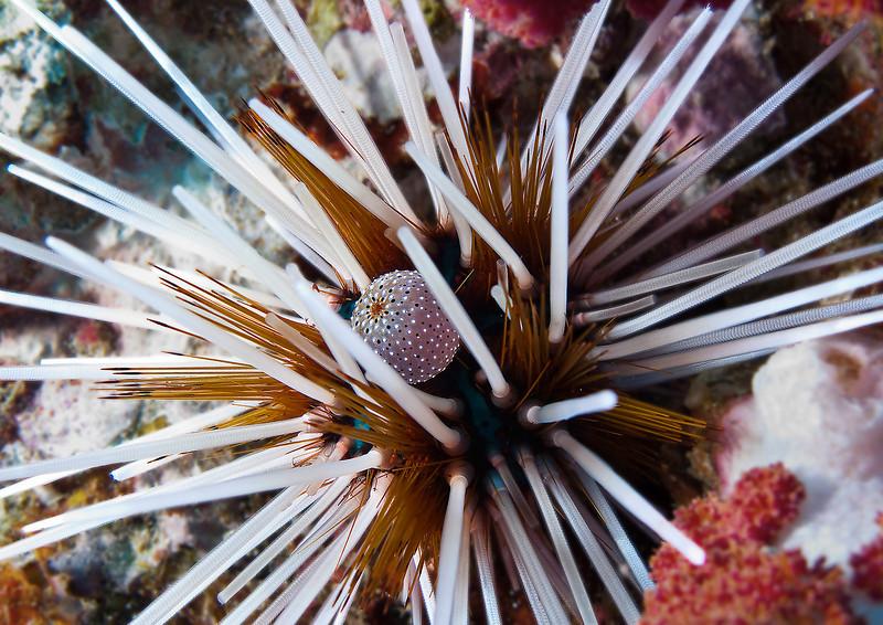 Sea urchin, Richelieu Rock