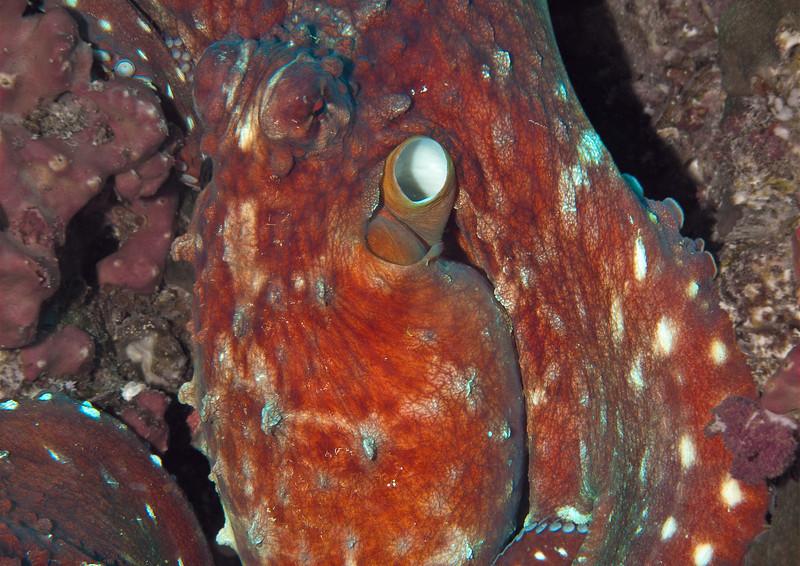 Octopus, Richelieu Rock