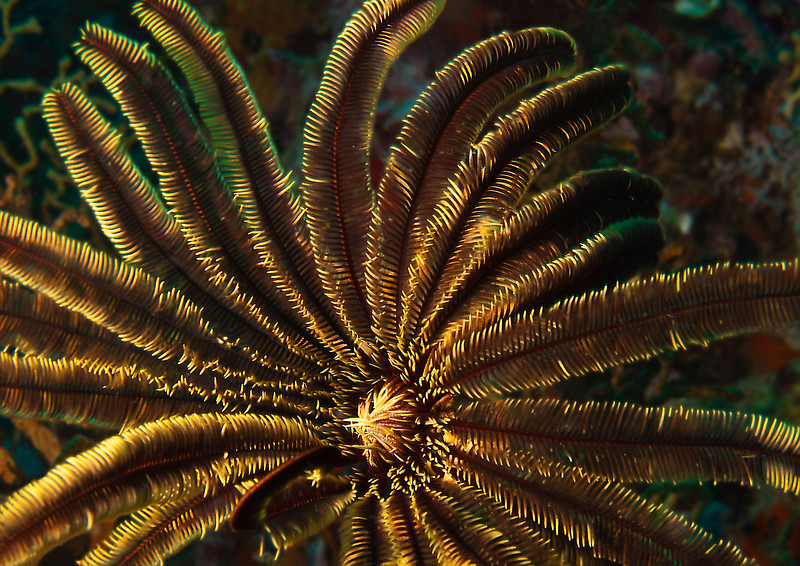 Feather Star, Richelieu Rock