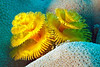 Christmas Tree Worm, Similan Islands, island #4