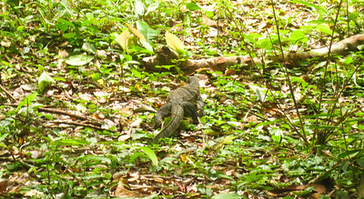 Monitor Lizard - Khao Sok National Park, Thailand