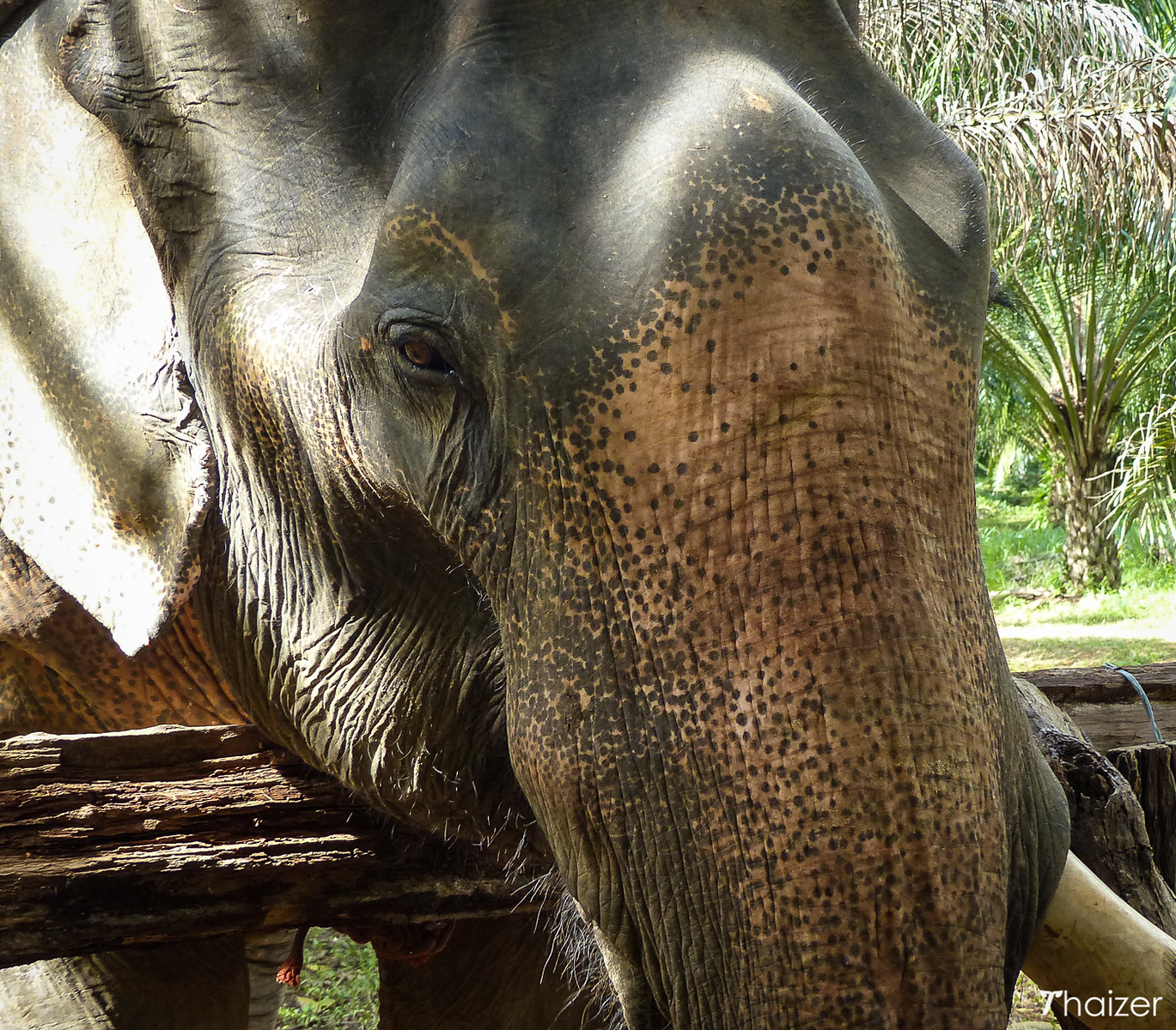 close up view of Somboon the rescued elephant