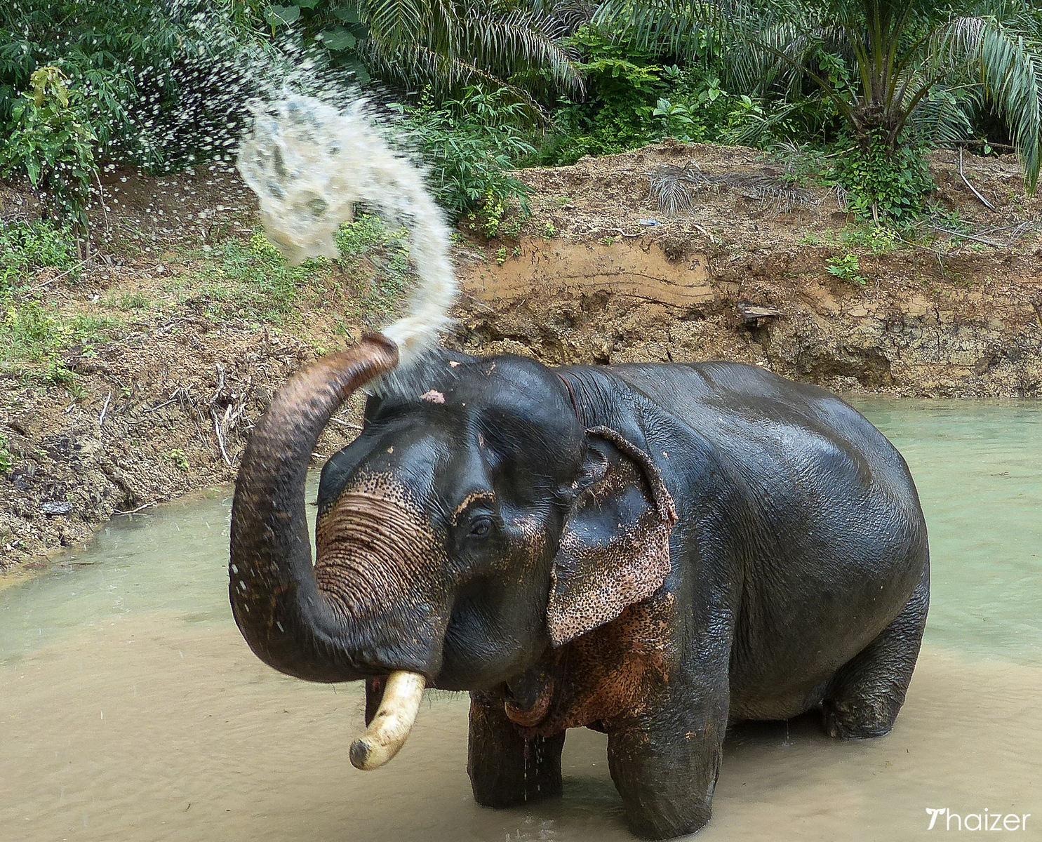 Somboon the elephant in his watering hole in Khao Sok, Thailand