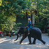 Elephant Walking Down the Street
