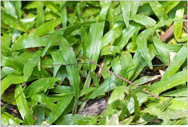 Small fancy stick insect