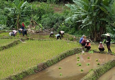 Women planting rice