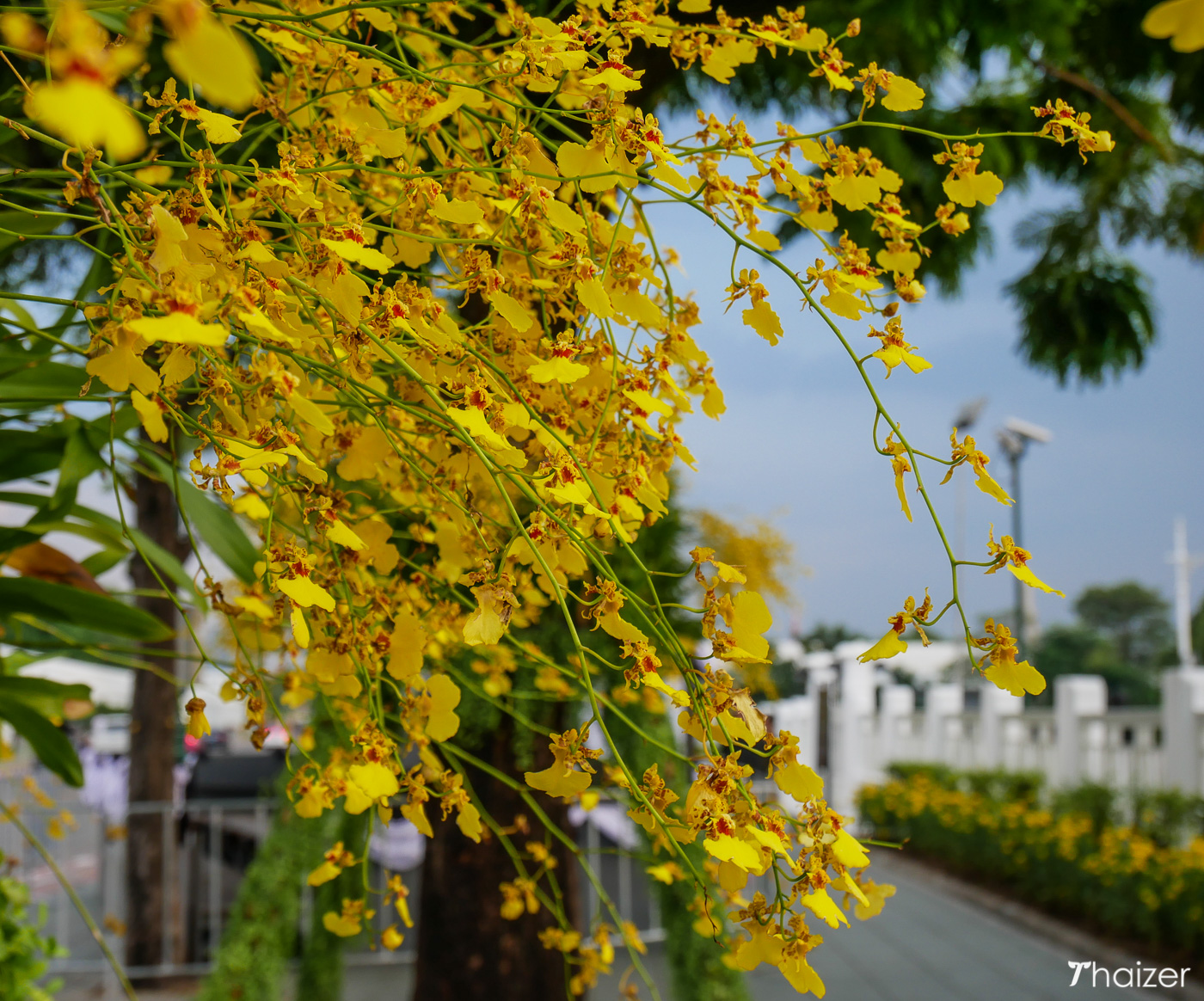 Ratchaphruek, golden shower trees