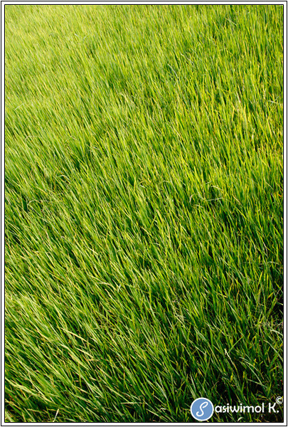 Rice field... in Nonthaburi