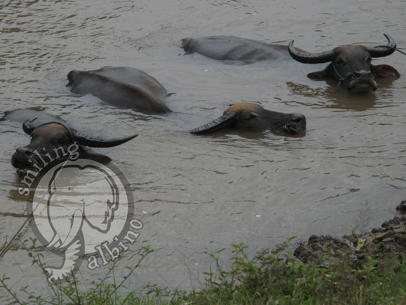 Some water buffalo enjoy a cool dip.