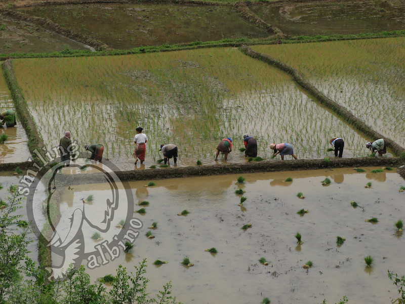 Farmers planting rice in a paddy near the Mae Kok River.