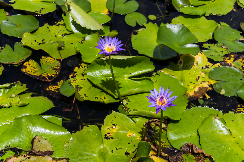 Purple Water Lily Flowers