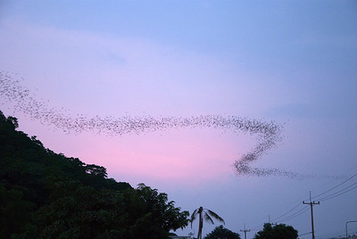 Bats at sunset - October 2008