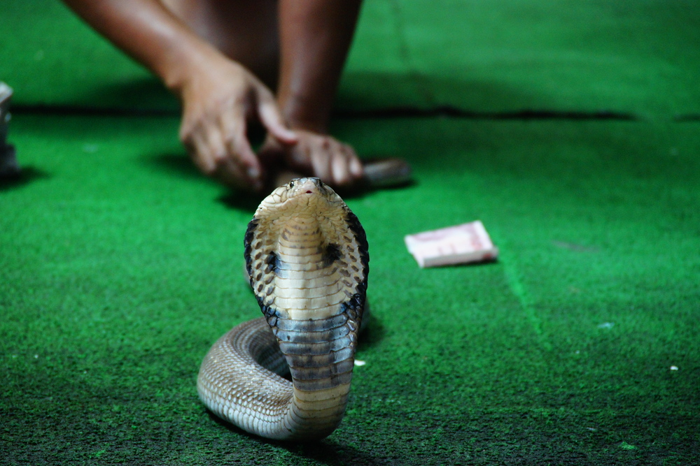 Snake Retreating Thai Snake Show