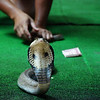Today's daily travel image is of slithering snake making a mad dash retreat during a Thai Snake Show performance just outside of Kanchanaburi, Thailand.