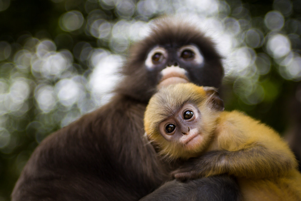 Dusky leaf monkeys, also called spectacled langurs in the south of Thailand.