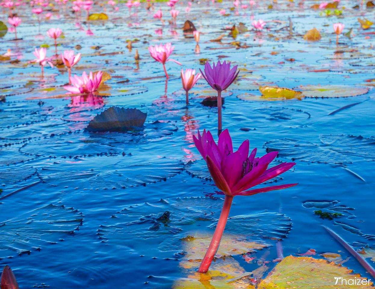 tropical wtaer lilies on Nong Han Kumphawapi Lake, Udon Thani