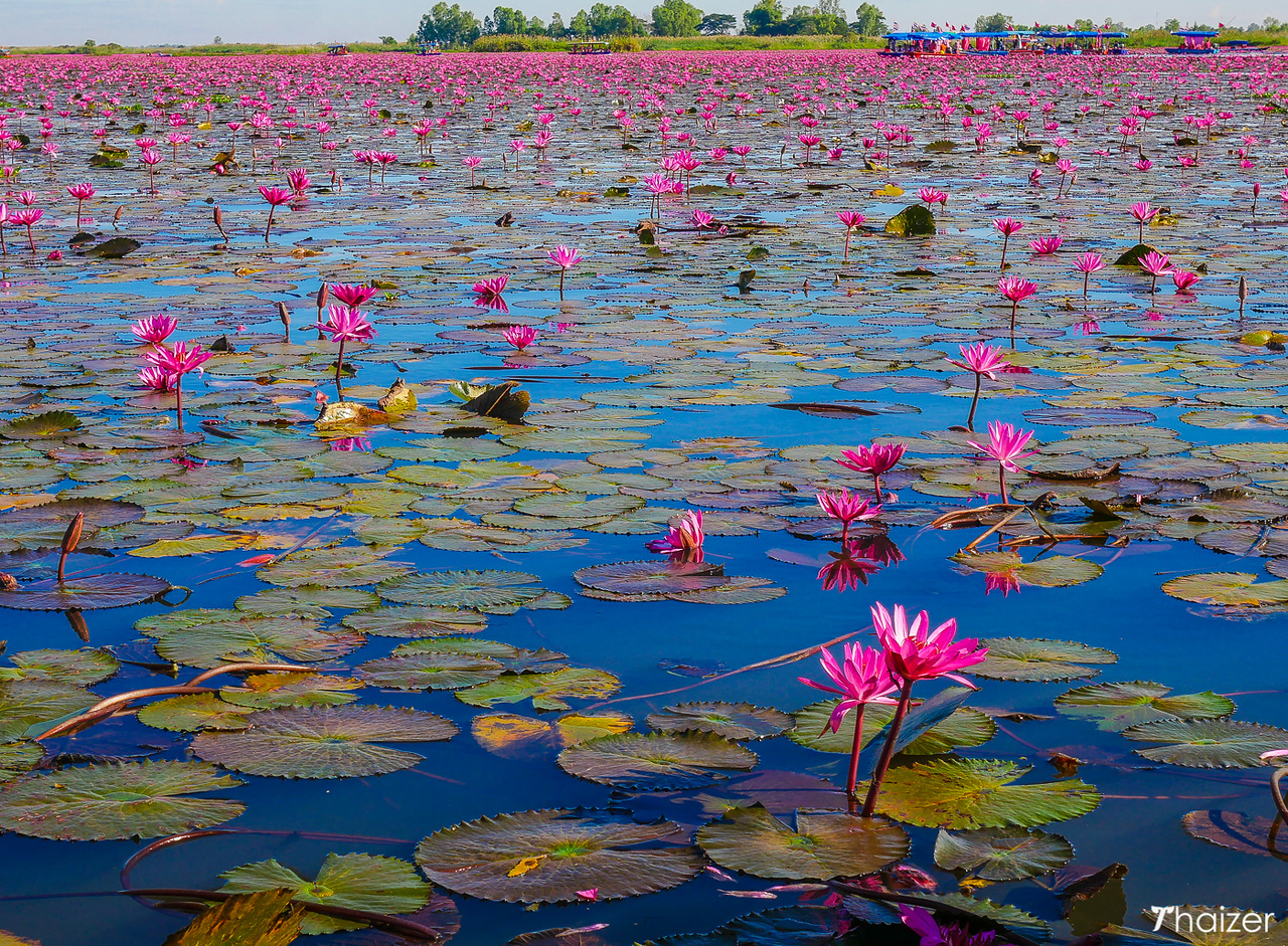 Red Lotus Lake in Thailand
