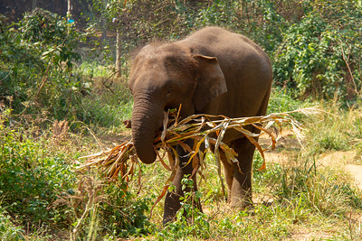 Asian elephant in wild eating a bunch of stalks