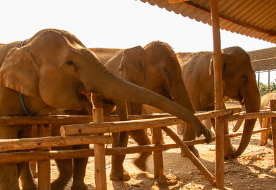 Three large Asian elephants eating in Thailand